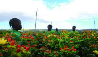 Time for a global flower auction in Kenya